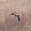 Red Kite, Milvus milvus 8310