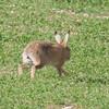 Brown Hare, Lepus europaeus 8186