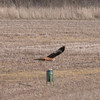 Red Kite, Milvus milvus 8307