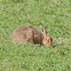 Brown Hare, Lepus europaeus 8143