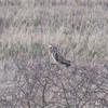 Short-eared Owl, Asio flammeus 8351