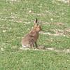 Brown Hare, Lepus europaeus 8222