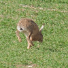Brown Hare, Lepus europaeus 8187