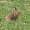 Brown Hare, Lepus europaeus 8213