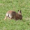 Brown Hare, Lepus europaeus 8129