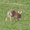 Brown Hare, Lepus europaeus 8190