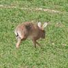 Brown Hare, Lepus europaeus 8189