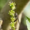 Migrant Hoverfly, Meliscaeva auricollis P1240552