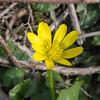 Lesser Celandine, Ranunculus ficaria P1240548