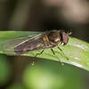 Migrant Hoverfly, Meliscaeva auricollis P1240553