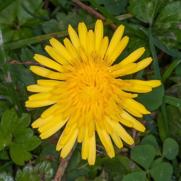 Dandelion, Taraxacum officinale 5052