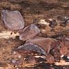 Jelly Ear Fungus, Auricularia auricula-judae 4951