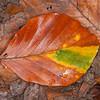Common Beech, Fagus sylvatica 4947