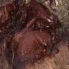 Jelly Ear Fungus, Auricularia auricula-judae 4954