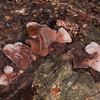Jelly Ear Fungus, Auricularia auricula-judae 4953