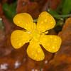 Meadow Buttercup, Ranunculus acris 4950