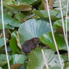 Water Vole, Arvicola amphibius 1128
