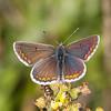 Brown Argus ♂, Aricia agestis 1212