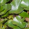 Water Vole, Arvicola amphibius 1130