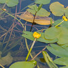 Yellow Water-lily, Nuphar lutea 1126