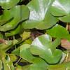 Water Vole, Arvicola amphibius 1129