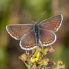 Brown Argus ♂, Aricia agestis 1213