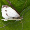 Green-veined White ♀, Pieris napi 1207