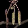 Silver Birch catkins, Betula pendula, Heyshot Common 6713