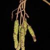 Silver Birch catkins, Betula pendula, Heyshot Common 6717