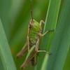 Meadow Grasshopper nymph, Chorthippus parallelus P1250330