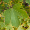 Field Maple, Acer campestre 9968