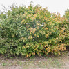 Field Maple, Acer campestre 9970