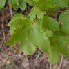 Field Maple, Acer campestre 9966