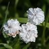 Sneezewort 'The Pearl', Achillea ptarmica whiteflora 3298