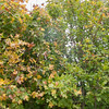 Field Maple, Acer campestre 9969