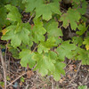 Field Maple, Acer campestre 9965