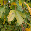 Field Maple, Acer campestre 9964