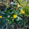 Lesser Celandine, Ranunculus ficaria 2168