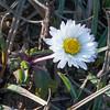 Daisy, Bellis perennis 2195