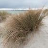 Marram Grass, Ammophila arenaria 9028