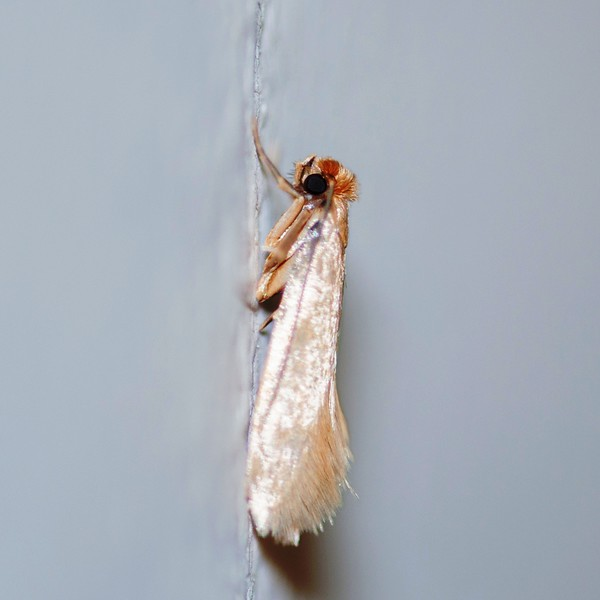 Common Clothes Moth, Tineola bisselliella 2238