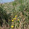 Lesser Celandine, Ranunculus ficaria 9021