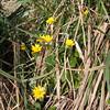 Lesser Celandine, Ranunculus ficaria 9026