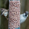 House Sparrows, male and female, Passer domesticus 4724