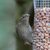 House Sparrow, female, Passer domesticus 4718