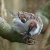 House Sparrow, male, Passer domesticus 4784