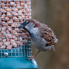 House Sparrow, male, Passer domesticus with Blue Tit 4762