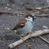 House Sparrow, male, Passer domesticus 4780