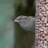 House Sparrow, female, Passer domesticus 4715