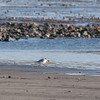 Sanderling, Calidris alba 7676